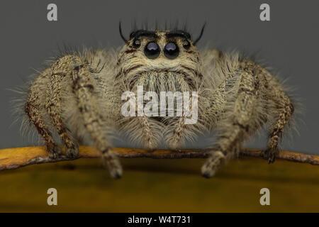 Nahaufnahme eines springenden Spinne auf einem Blatt, Indonesien - Stockfoto