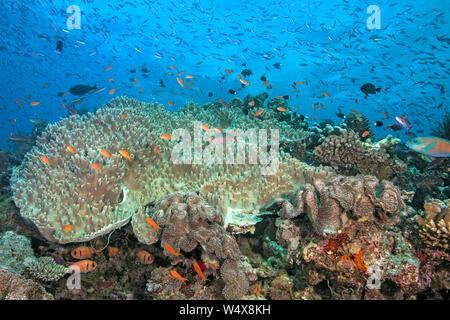 Bunte Fische Schwarm über Riff mit große Kolonie von inkrustierende Weichkorallen. Beqa Lagoon, Fidschi. 2017 - Stockfoto