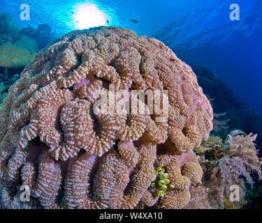 Schließen focus Weitwinkelaufnahme der bunten lobophyllia brain Coral auf einem Riff in der Bunaken Island, Indonesien. - Stockfoto