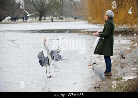 Graureiher (Ardea cinerea) Fed auf dem gefrorenen See von einer Frau, die am Ufer, Regents Park, London, England, UK, Februar. Model Released. VISION 2020 Buch. - Stockfoto