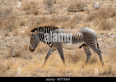 Grevy's zebra Walking (Equus grevyi), Samburu National Reserve, Kenia, Afrika. Gefährdete Arten. - Stockfoto