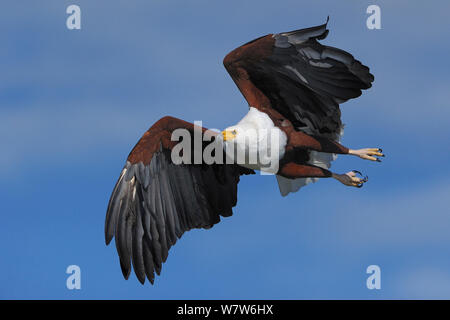 African Fish Eagle (Haliaeetus vocifer) im Flug, Chobe River, Botswana, April. - Stockfoto