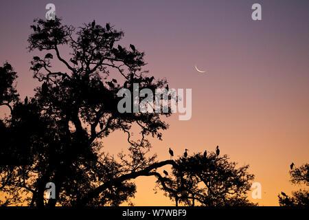 Yellow-billed Stork (mycteria Ibis) Kolonie in der Dämmerung South Luangwa National Park, Sambia. Mai. - Stockfoto