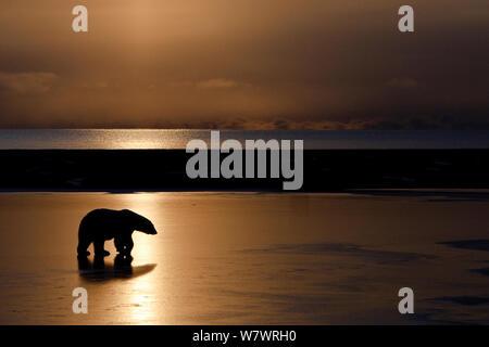 Eisbär (Ursus maritimus) am Strand, bei Sonnenuntergang Silhouette, Wrangel Insel, fernöstlichen Russland, Oktober. - Stockfoto