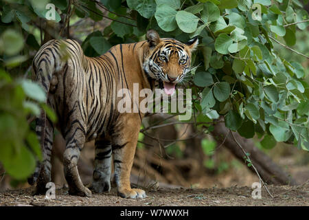 Bengal Tiger (Panthera tigris tigris) Männliche' Sultan T 72' zeigen flehmen Antwort auf territorialer Kennzeichnung. Ranthambore Nationalpark, Indien. - Stockfoto