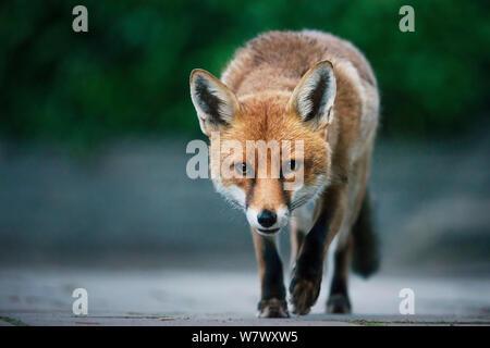 Städtischen Rotfuchs (Vulpes Vulpes), Männchen (Hund). Bristol, UK. August. - Stockfoto