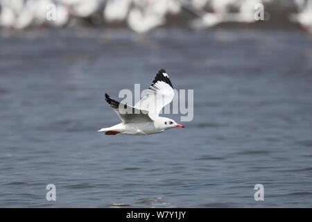 Braune Leitung Möwe (Chroicocephalus brunnicephalus) im Flug über Wasser, Indien, Januar. - Stockfoto
