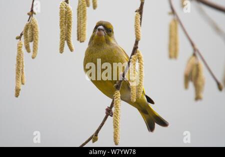 Europäische grünfink (Chloris chloris Chloris) männlichen auf Zweig mit Hazel palmkätzchen (Corylus) Niedersachsen, Deutschland, Februar. - Stockfoto
