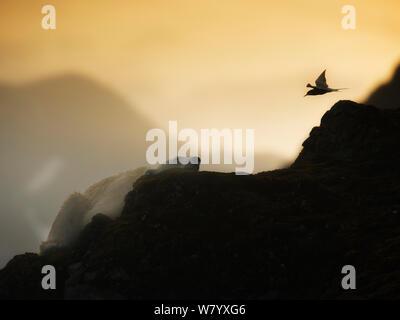 Küstenseeschwalbe (Sterna Paradisaea) fliegen in Richtung Eisbär (Ursus maritimus) ruht auf Felsen mit goldenen Licht der Mitternachtssonne, Svalbard, Norwegen. August. - Stockfoto