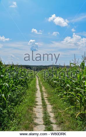 Eine Gasse durch die Maisernte. Oben ist ein schöner blauer Himmel mit weißen Wolken - Stockfoto