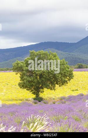 Lavendel Feld auf dem Plateau de Valensole, Provence, Frankreich. - Stockfoto