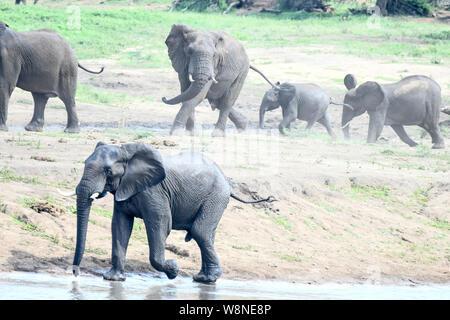 Eine Parade von Elefanten in der Nähe von glitzernden ein Wasserloch im Krüger National Park. Verspielt.. Stark und zu Wasser - Stockfoto