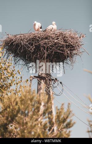 Zwei Störche in einem Nest aus Zweigen auf einer Stange. 2-polig mit Kabel. - Stockfoto