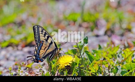 Schwalbenschwanz Schmetterling sitzt auf gelben Löwenzahn Blume, Fütterung Nektar. image. - Stockfoto