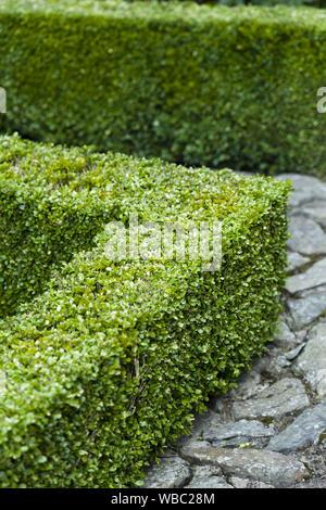 Buxus sempervirens, aufgesteckt Hedge in einem formalen Garten, Großbritannien - Stockfoto