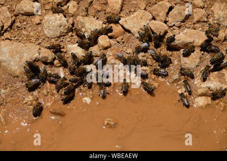 Honig Bienen brauchen Wasser. Sie ihre Bedürfnisse aus den Pfützen der Natur erfüllen - Stockfoto