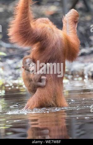 Indonesien, Borneo, Tanjung Puting Nationalpark, Bornesischen Orang-utan (Pongo pygmaeus Pygmaeus), erwachsenen Mann in der Nähe der Wasser des Sekonyer River - Stockfoto