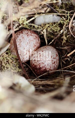 Wren's Nest mit Eiern. Geringe Tiefenschärfe. - Stockfoto