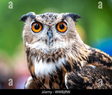 New York, USA, 14. September 2019. Eine große Fledermaus (Bubo virginianus) ist bei der jährlichen Raptor Fest Veranstaltung der New York City organisiert angezeigt - Stockfoto