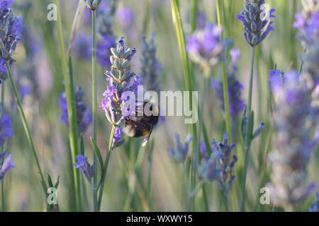 Eine Hummel in einem Lavendelfeld - Stockfoto