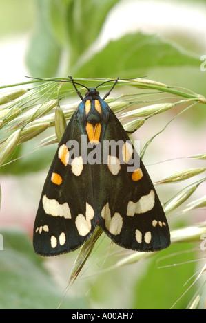 Scharlachrote Tiger Moth ruht auf dem Rasen an einem Berkshire Kanalseite - Stockfoto