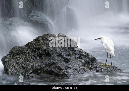 Snowy Reiher Egretta unaufger und Wasserfall New Otani Garten Tokyo Japan - Stockfoto