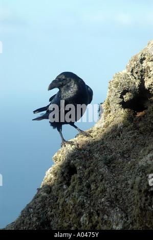 Rabe, Corvus Corax Tingitanus, Lanzarote, Kanarische Inseln, Spanien - Stockfoto