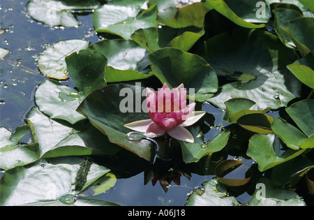 Pink Water Lilly - Stockfoto