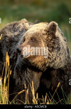 Siedlungsphase Braunbär Ursos Arctos Erwachsene weibliche Europa - Stockfoto