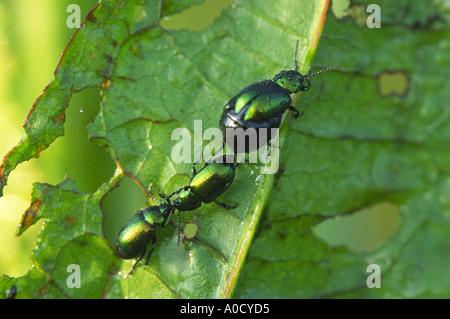 Mint Blattkäfer Chrysolina Menthastri Insekt - Stockfoto