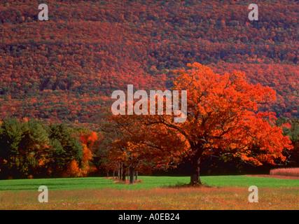 Einsamer Baum mit roten Herbstlaub in einem Feld mit Hügel bedeckt mit Herbstlaub Catskill Mountains New York - Stockfoto