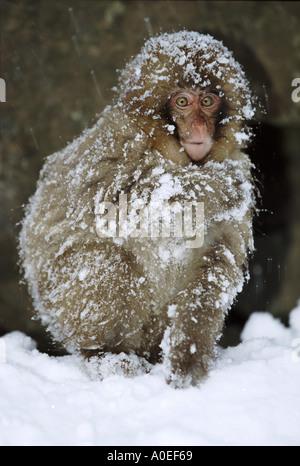 Schnee-Affen im Schnee Jigokudani Nationalpark Japan