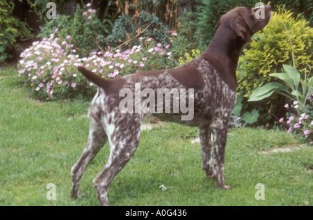 Deutscher Kurzhaariger Vorstehhund - Stockfoto