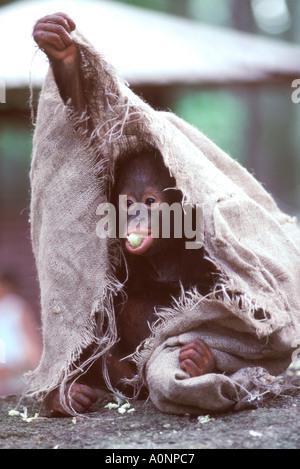 Der Zoo von Singapur. Während Mutter Orang-Utan mit Touristen durchführen ist amüsiert ihr Baby sich mit einem alten - Stockfoto