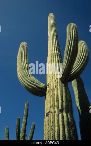 Ein Saguaro-Kaktus steht vor einem einsamen blauen Himmel Saguaro National Monument Sonoran Wüste Arizona USA - Stockfoto