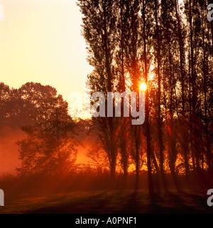 Strahlen der Sonne Strahl durch Pappeln bei Sonnenaufgang an einem nebligen Morgen in Burnaby British Columbia Kanada - Stockfoto