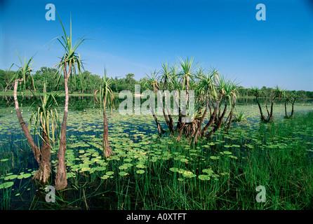 Seerosen und kleinen Palmen in Annaburroo Billabong bei der Mary River Crossing in der Nähe von Arnhem Highway zwischen - Stockfoto