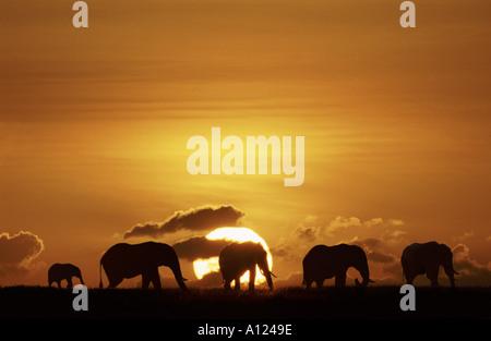 Elefanten, die Silhouette gegen die aufgehende Sonne Masai Mara Kenia - Stockfoto