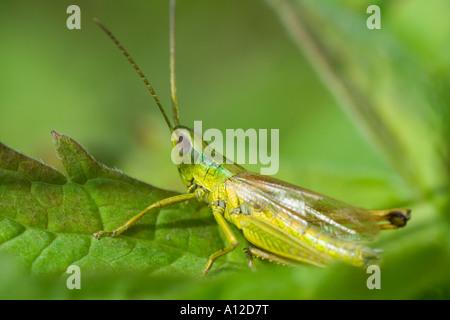 Heuschrecke Oedipoda Caerulescens sitzt auf einem Blatt - Stockfoto