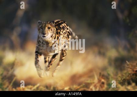 Unter König Cheetah-Südafrika - Stockfoto