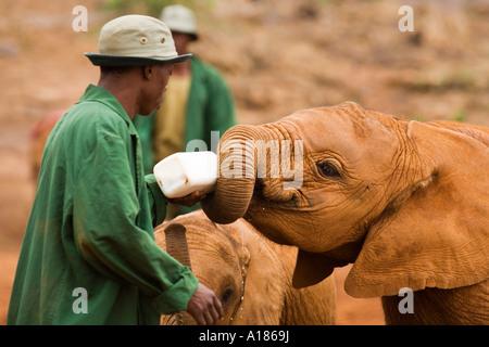 Verwaiste Baby afrikanischen Elefanten gefüttert Milch aus der Flasche von Keeper David Sheldrick Wildlife Trust - Stockfoto