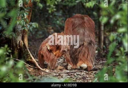 Männlichen Orang-Utan mit Frau und Kind Borneo - Stockfoto