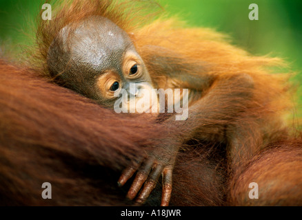 BORNEAN ORANGUTAN junger Pongo Pygmaeus Tanjung Puting Nationalpark Borneo-Indonesien - Stockfoto