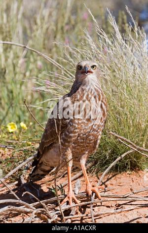 Joung singen Goshawk Kgalagadi Transfrontier Park, Kalahari Gemsbok Park, Botswana und Südafrika. - Stockfoto