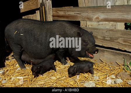 Hängebauchschwein-Mutter, die angezeigt wird, zu lachen und zwei Babys in Hof, Midwest USA - Stockfoto