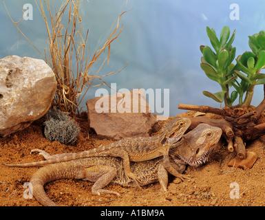 Australische Bartagame mit Jungtier auf dem Rücken / Pogona Vitticeps - Stockfoto