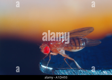 Fruchtfliegen essig