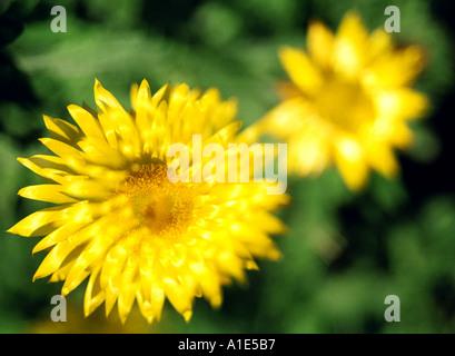 Gelbe Blumen Mehrfachbelichtung - Stockfoto