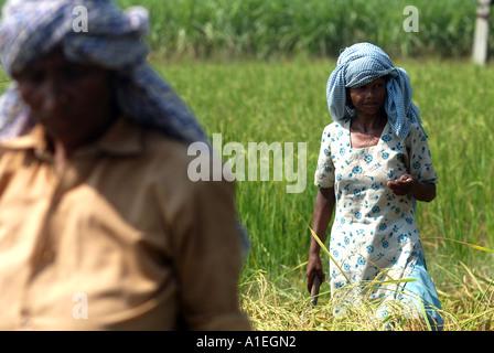 Arbeiter auf einem Reisfeld in Nordindien. Der Reis hier ist durch das Fairtrade-System fair gehandelt. - Stockfoto
