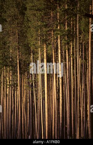 Idaho Lodge Pole Kiefer Bäume - Stockfoto